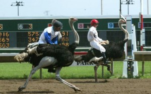Ostrich Races Tonight